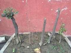 北方怎么栽植金蛋子下山桩的方法 图片