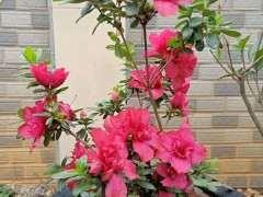 杜鵑下山樁一年開幾次 還是常年開花 圖片