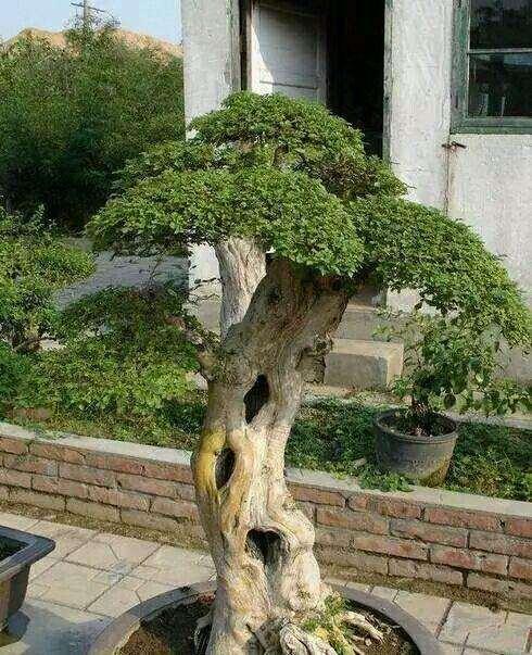 北方陽台族如何養好杜鵑下山樁花