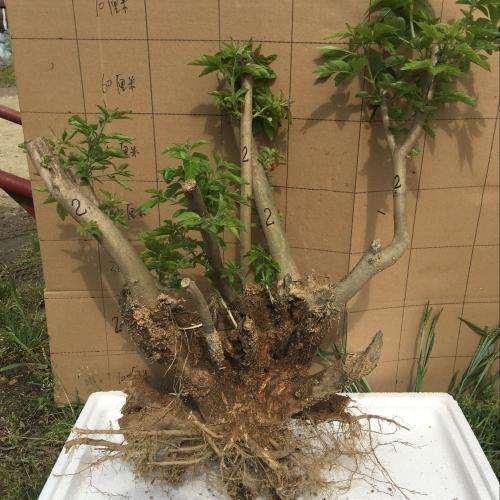 杜鹃下山桩怎么栽培繁殖的方法