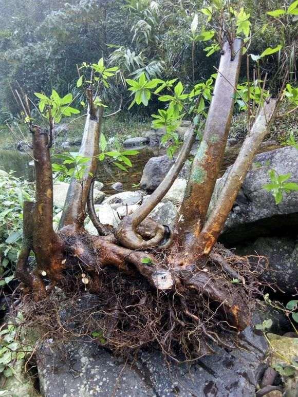 河邊挖杜鵑下山樁 很方便 不費力