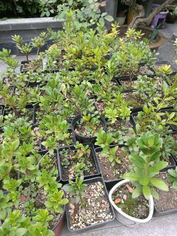 為什麼用松針土種植杜鵑下山樁最好