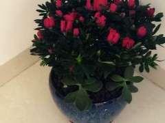 杜鹃下山桩在冬天开花正常吗 图片