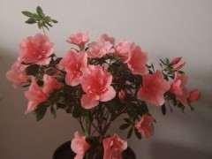 哪个品种杜鹃下山桩开花有香味