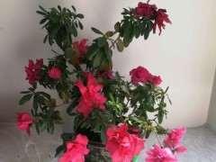 杜鵑下山樁在陽台養護還能開花 圖片