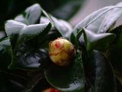為什麼茶花比杜鵑下山樁耐寒 圖片