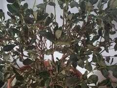 杜鹃下山桩的叶子上有灰白色 怎么办 图片