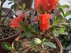 杜鹃下山桩花后大剪到再次开花要5-6个月