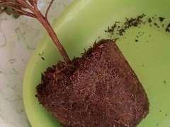 图解 椰糠杜鹃下山桩怎么洗根的方法