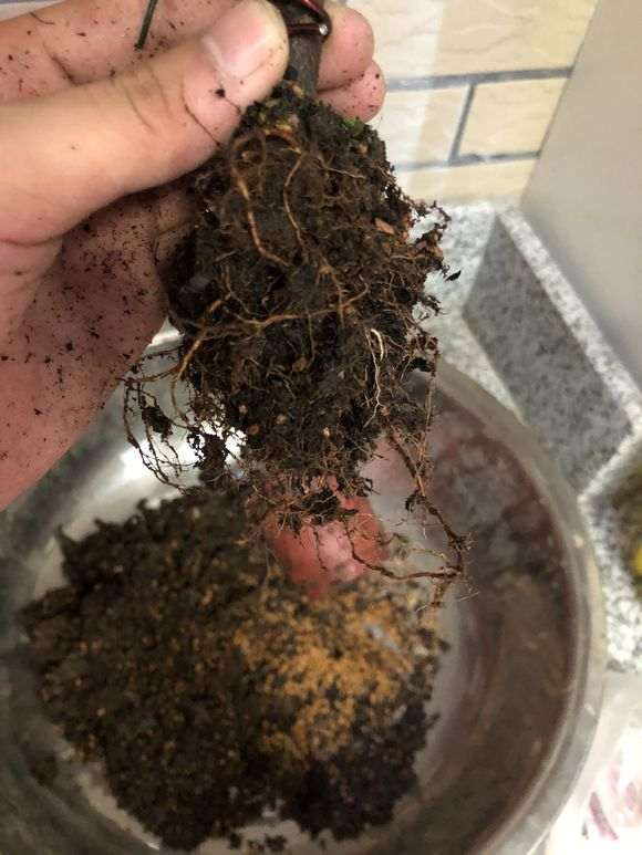 杜鹃下山桩怎么洗根换盆的过程