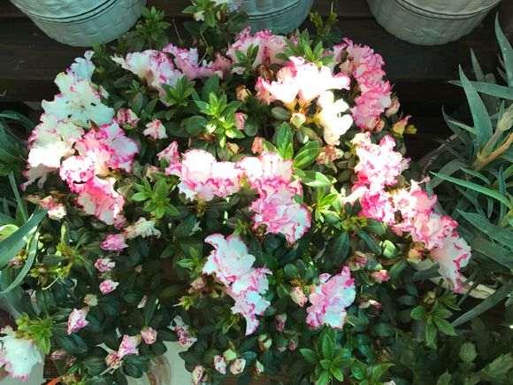 为什么西玛杜鹃下山桩花越开花越小