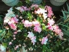 为什么西玛杜鹃下山桩花越开花越小 图片