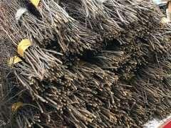 兴安杜鹃下山桩可以大规模的培养吗?