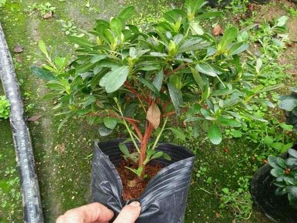 为什么小桃红杜鹃下山桩最好种活