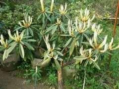 马樱杜鹃下山桩怎么种植的方法 图片