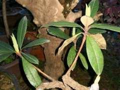 杜鹃下山桩只长芽不开花是什么原因 图片