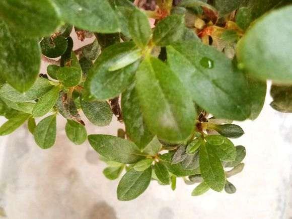 杜鹃下山桩叶子发白 是生了什么病 图片