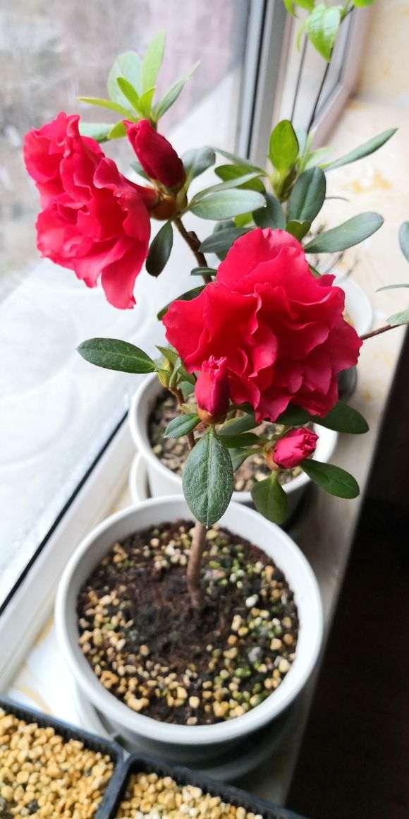 春天 夏天杜鹃下山桩一直在开花 怎么办