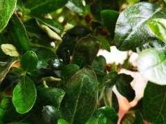 杜鹃下山桩花的叶子焦了 怎么回事 图片