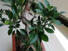 养了三年的榕树下山桩 跟3年前变化大吗