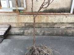 图解 小榕树下山桩如何盆景修剪的方法