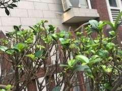 榕树下山桩的茎杆扦插怎么也不活 怎么办