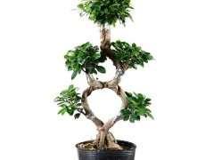 这种造型的榕树下山桩有人养吗 图片