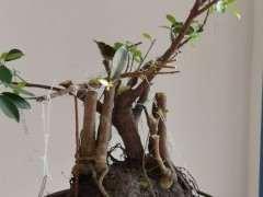 榕树下山桩个人制作慢慢发芽了 图片