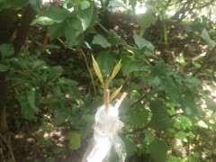 嫁接的榕树下山桩可以活吗 图片