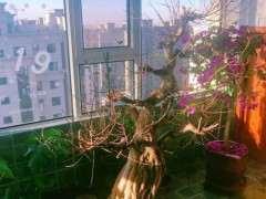 我的榕树下山桩死了吗 怎么救活 图片