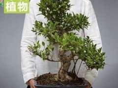 台湾榕树下山桩是不是都是嫁接的 图片