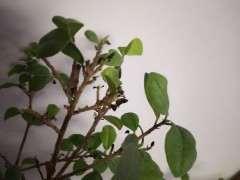 榕树下山桩新叶不多久就干枯 怎么办