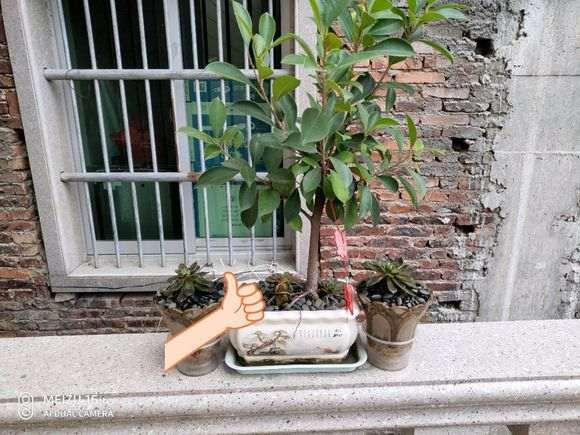 榕树下山桩怎么截短留枝的方法 图片