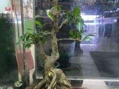 帮忙看看 这不上班台湾榕树下山桩 图片