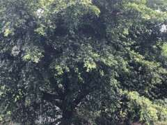 小叶榕树下山桩的树叶能挡住泥丸么 图片