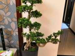 榕树下山桩买了10天 每天都掉叶子 怎么办