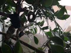 榕树下山桩嫁接了很多枝条 怎么样 图片