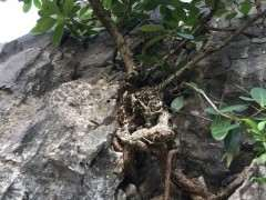 这是什么榕树下山桩 果子长在树干上 图片
