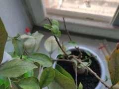 榕树下山桩长出来的新芽都枯萎了 怎么办