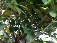 榕树下山桩叶子发黄是怎么回事 图片