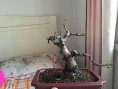 白皮榕树下山桩 求教怎么养 图片