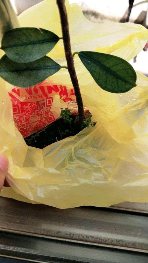 我在厦门拔了2颗小榕树下山桩 根泡水里
