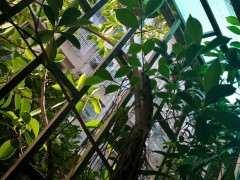 我家阳台 这棵榕树下山桩怎么办 图片