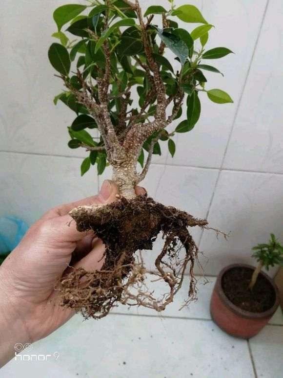 榕树下山桩怎么底修剪换土的方法 图片