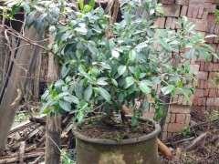 西安榕树下山桩 可以安全过冬吗 图片