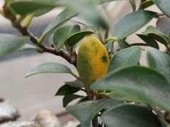 榕树下山桩叶子发黄 还总掉 怎么办 图片