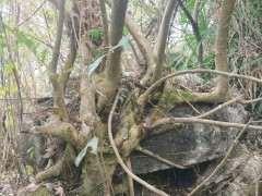 这个黄榕树下山桩能要吗 图片