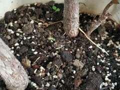 为什么榕树下山桩的气根一定要进土里
