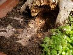 榕树下山桩的根干掉了怎么处理好 图片