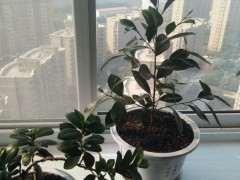 夏天扦插的小叶榕树下山桩 发芽了 图片